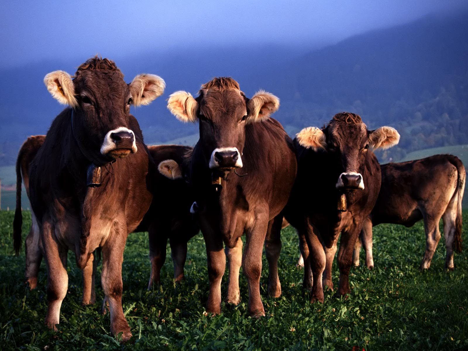 Крс, бычки 50-120 кг, телята. Срочно.