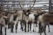 На Ямале заготовлено свыше двух тысяч тонн оленины