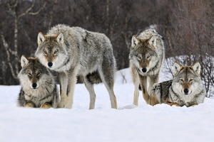 Забайкальские животноводы переживают нашествие волков