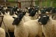 Овцеводов Бурятии обучают продвижению баранины на рынок
