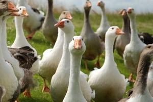 Единственным казахстанским предприятием, экспортировавшим в 2014 в Россию мясо гуся, стала птицефабрика  «Возрождение XXI век»