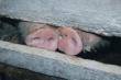 Около 400 свиней спасено при тушении крупного пожара на свиноферме в Оренбуржье