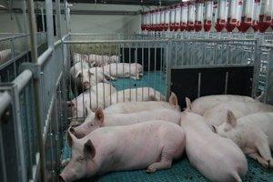 В Беларуси запускают племенной свинокомплекс на 27 тыс. голов