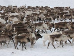 Оленеводы Чукотки в 2013г увеличили поголовье оленей на 4%