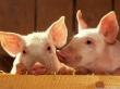 Во время ЧП на свинокомплексе в Кузбассе погибли 5 тыс. животных