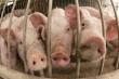 В Саратовской области к 2020 году появится новое производство по переработке свинины