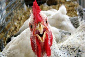 США будут использовать негуманные методы убоя птиц в борьбе с птичьим гриппом