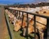 За год в России поголовье коров уменьшилось на 37,4 тысячи