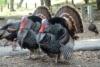 В Татарстане в 2011 году будет произведено 2,5 тыс. тонн мяса индейки