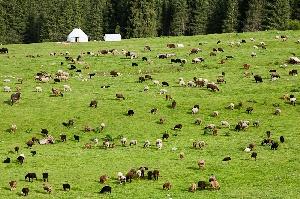 Новосибирская область готовится к летне-пастбищному сезону