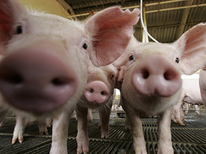 В Эстонии мясные прилавки заполонила импортная свинина