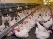 Алтайским аграриям выделили порядка 144 млн рублей на производство продукции животноводства