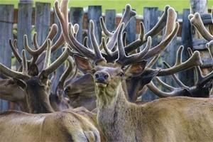 Численность оленей в Хабаровском крае стремительно сокращается