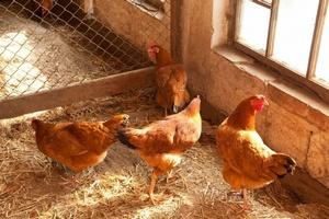 В ЮАР вступает в силу новая версия законов о птицеводстве