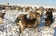 Процент заболеваемости тазовского поголовья оленей низкий, а качество мяса высокое