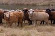 Производство баранины за последние пять лет выросло на 11%