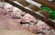 Красноярский край пообещали завалить мясом