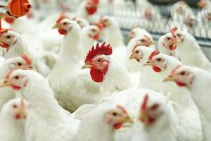 Агрофирма «Октябрьская» Республики Мордовия вошла в десятку крупнейших экономически развитых производителей мяса птицы в России