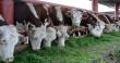 Агрохолдинг «Томский» наращивает производство говядины до 550 тонн в год