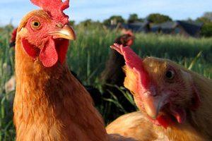 На крупнейшей астраханской птицефабрике начался падеж птицы от голода