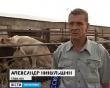 Животноводы Оренбуржья выращивают элитные породы скота