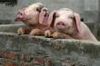 Хабаровский свинокомплекс «Агроэнерго» готовят к перезапуску