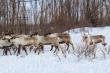 На Ямале начали закрывать оленеводческие предприятия и забивать скот