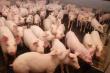 На румынской ферме в Дрэгэлине уничтожат более 20 тысяч свиней