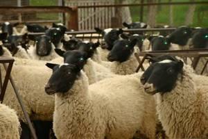 Дагестан занимает первое место в России по производству баранины и шерсти