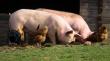 Европейский рынок свинины начал восстанавливаться: цены выросли в Германии и Испании