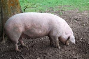 В Сальском районе Ростовской области ветеринарные врачи выявили паразитов в свиных тушах