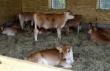 рацион кормления бычков на откорме видео