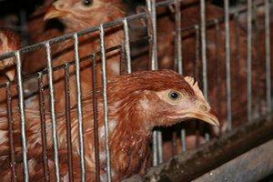 В Татарстане дешевеет курятина