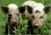 Россельхознадзор разрешил импорт свинины в Россию с 18 предприятий США. Соответствующее распоряжение было подписано 25 марта 2010 г.