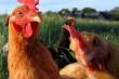 Ученые:  нехватка витамина А может влиять на двигательную активность птицы