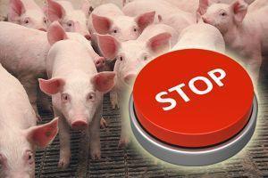 Комиссия при Кабмине Украины временно запретила продажу свиней на рынках в неблагополучных по АЧС областях