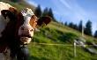 В племенных хозяйствах Татарстана прочипировано более 30 тысяч коров