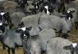 От безработицы спасут овцы?