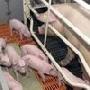 Тамбовская структура «Черкизово» увеличит мощности своего свинокомплекса в Гавриловском районе за 150 млн рублей
