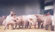 Банкротство свинокомплекса «Северный ключ» постараются предотвратить