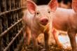 Эксперты рассказали сколько будет стоить свинина к концу года