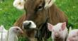 Удмуртия вышла на уровень самообеспечения по мясу скота и птицы