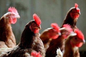 Власти ЮАР внесли поправки в законы о птицеводстве