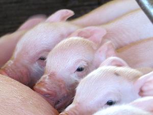 Из-за АЧС в Латвии маленьких свиноводческих ферм стало вдвое меньше