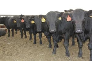 Воронежскому «Дон-Агро» присвоен статус племенного репродуктора по разведению крупного рогатого скота абердин-ангусской породы