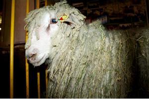 300 овец пытались незаконно вывезти из Дубовского района в республику Дагестан