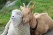 В 2015 году план по увеличению маточного поголовья овец и коз в России перевыполнен на 7,5%