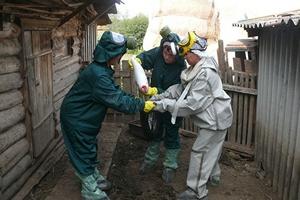 Из-за африканской чумы свиней в Тюменской области на убой отправят 16 тысяч животных. СК возбудил дело