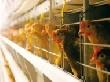 В Челябинской области за три года запустят две птицефабрики