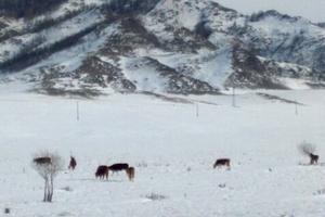 В связи с бескормицей в горах Алтая многие прогнозируют массовую гибель скота